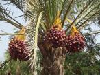 Jednym z produktów eksportowych Omanu są daktyle.... Fot.: Dorota Ziemnicka
